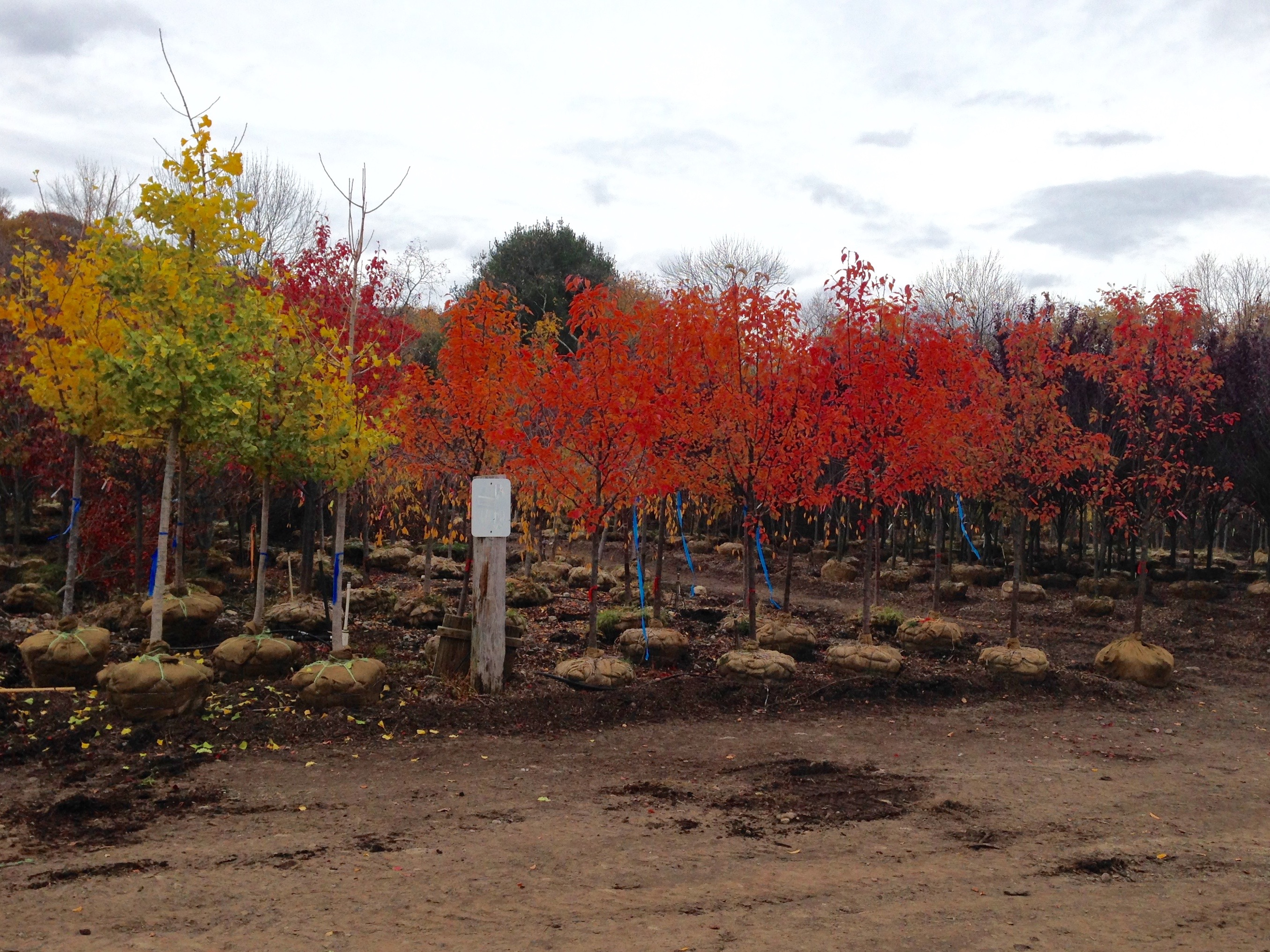 Deciduous Amp Evergreen Screening Popel Landscaping And