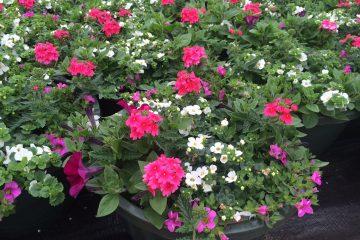 Annuals & Container Gardening