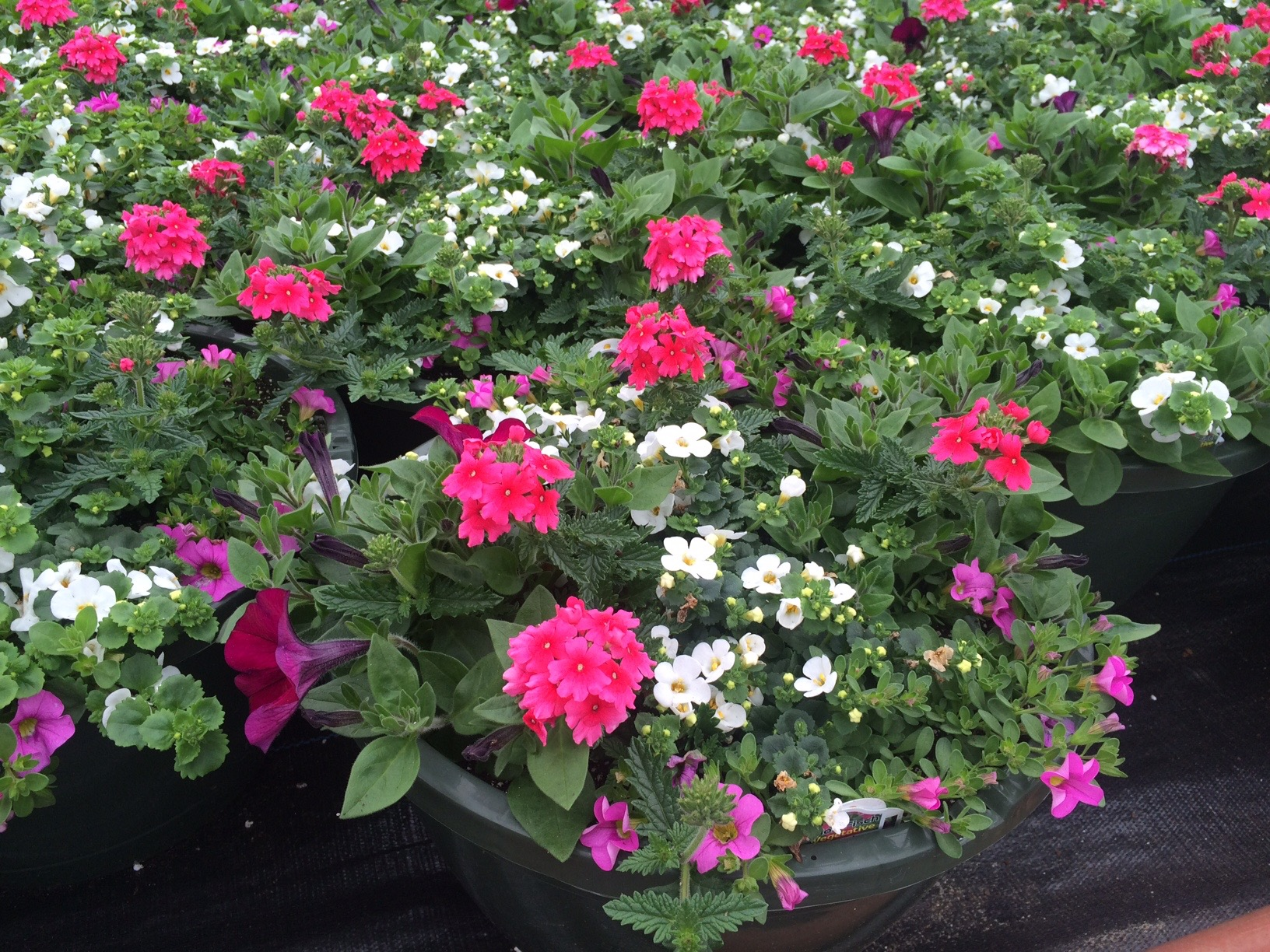 Annuals container gardening popel landscaping and design llc for many gardeners annuals are a go to solution for many garden needs these flowers are a quick way to fill empty spots in flowerbeds and early blooming izmirmasajfo