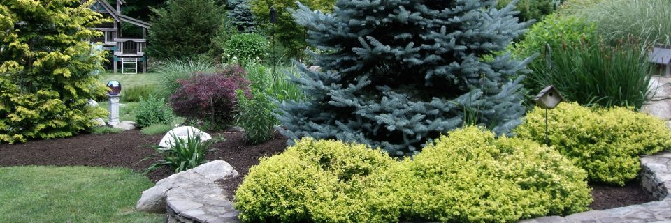 fat albert spruce backyard planting